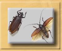 traitement de charpente les insectes larves xylophages capricornes vrillettes. Black Bedroom Furniture Sets. Home Design Ideas